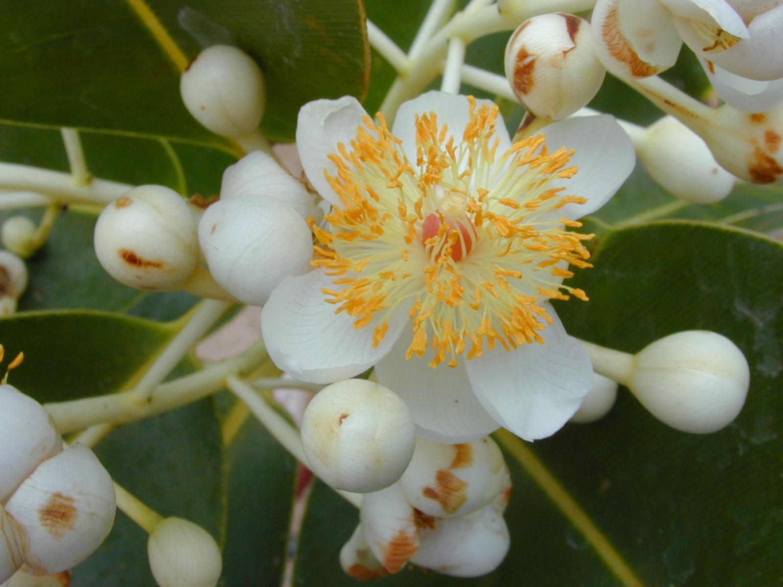 tamanu çiçeği